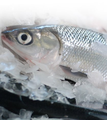 Freezing fish keep your fish tasting fresh in the for Does frozen fish go bad